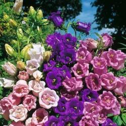 Marien Glockenblume Samen
