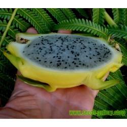 Semillas de Ombú Phytolacca Americana