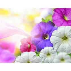 Blåvinda Mix  Blomfrön