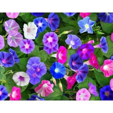 Dwarf Morning Glory Flower Seeds