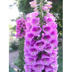 Sementes De Digitalis Excelsior Mixed