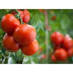 Semillas de Tomate Novosadski Jabucar