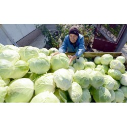 Futog Cabbage Seeds Heirloom