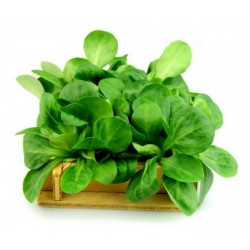 Seme Salate 'Matovilac'