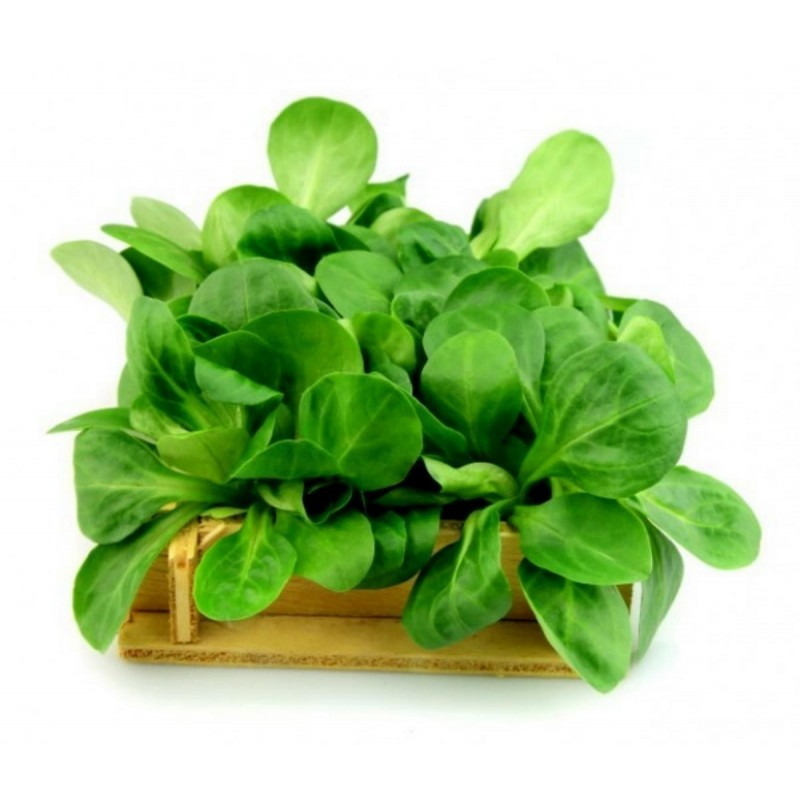 Graines Chou fleur vert Romanesco