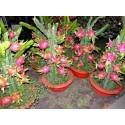 Sementes de Pitaya Fruta Do Dragao Exotica Exclusiva