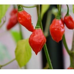 Sementes de pimenta quente de lanterna