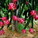 Okra Samen (Abelmoschus esculentus)