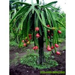 Semillas De Fruta Del Dragón Rojo Raras Exótico
