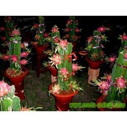 Drachenfrucht Samen Pitahaya Mit Roten Fleisch Kaktus Kakteen