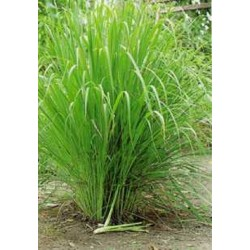 Semi di Citronella, Lemon grass (Cymbopogon citratus)