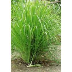 Semi di Citronella, Lemon grass (Cymbopogon citratus)