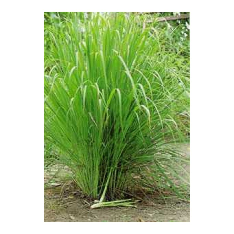 Lemongrass Seeds (Cymbopogon citratus)