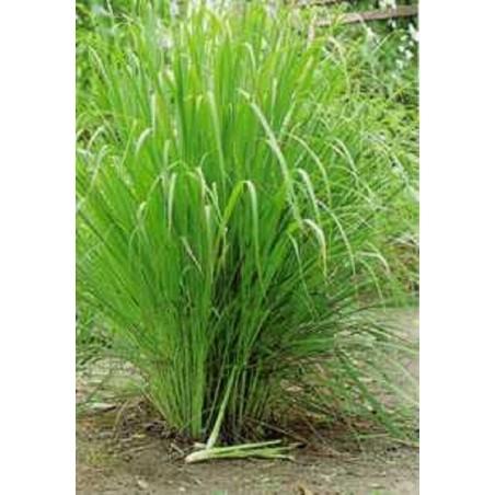 Limunova trava Seme (Cymbopogon citratus)