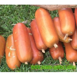 Semillas de Sicana (planta) (Sicana odorifera)