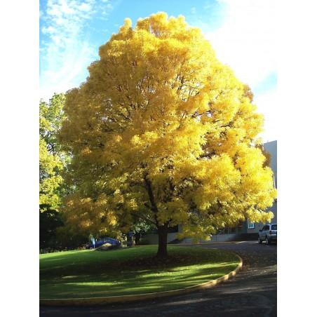 Semillas de un árbol de Fresno