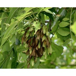 European ash Seeds 1.5 - 1