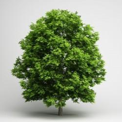 Semillas de un árbol de Fresno 1.5 - 2