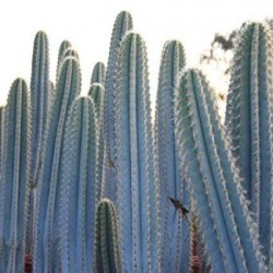 Semi di cactus blu (Pilosocereus pachycladus) 1.85 - 2