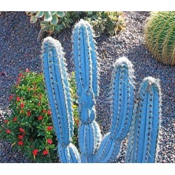 Semi di cactus blu (Pilosocereus pachycladus) 1.85 - 4