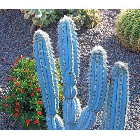 Blue Columnar Cactus Seeds (Pilosocereus pachycladus) 1.85 - 4