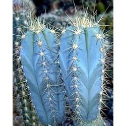 Semi di cactus blu (Pilosocereus pachycladus) 1.85 - 5