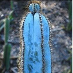 Blue Columnar Cactus Seeds (Pilosocereus pachycladus) 1.85 - 6