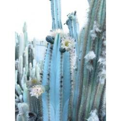 Semi di cactus blu (Pilosocereus pachycladus) 1.85 - 7
