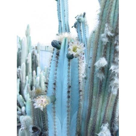 Blue Columnar Cactus Seeds (Pilosocereus pachycladus) 1.85 - 7