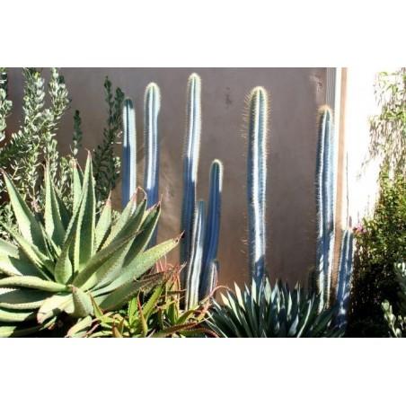 Blue Columnar Cactus Seeds (Pilosocereus pachycladus) 1.85 - 8