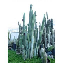 Semi di cactus blu (Pilosocereus pachycladus) 1.85 - 9