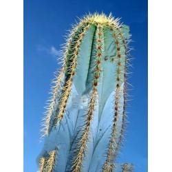 Blue Columnar Cactus Seeds (Pilosocereus pachycladus) 1.85 - 11