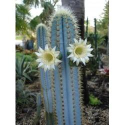Seme Plavog kaktusa Blue Columnar (Pilosocereus pachycladus) 1.85 - 15