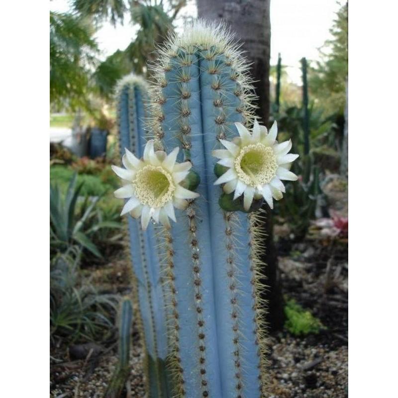 Semi di cactus blu (Pilosocereus pachycladus) 1.85 - 15