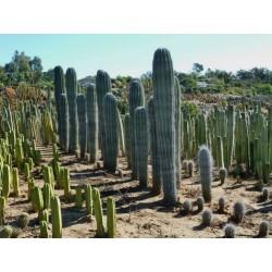 Semi di cactus blu (Pilosocereus pachycladus) 1.85 - 13