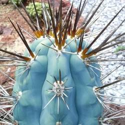 Semi di cactus blu (Pilosocereus pachycladus) 1.85 - 14