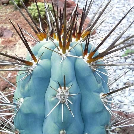 Blue Columnar Cactus Seeds (Pilosocereus pachycladus) 1.85 - 14