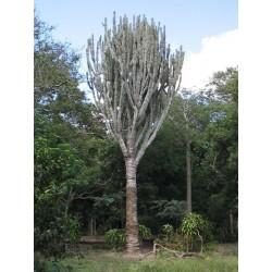 Caracore Cactus Seeds (Cereus dayamii) 1.85 - 1
