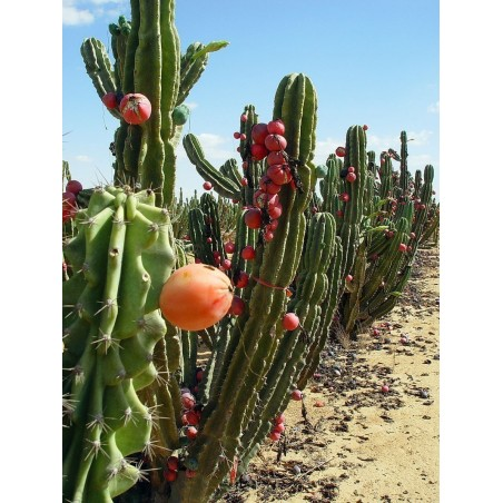 Seme kaktusa Caracore (Cereus dayamii) 1.85 - 2