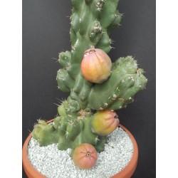 Caracore Cactus Seeds (Cereus dayamii) 1.85 - 3