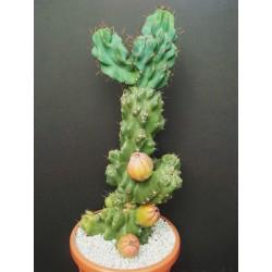 Caracore Cactus Seeds (Cereus dayamii) 1.85 - 4