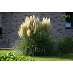 Vita Pampas Grass Frön  1.5 - 1