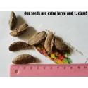 Seeds Exotic Garcinia indica Kokum butter tree, Mangosteen