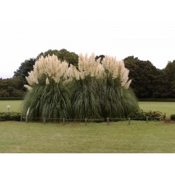 Semi Erba Pampas Grass Bianco