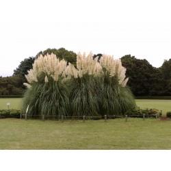 Vita Pampas Grass Frön