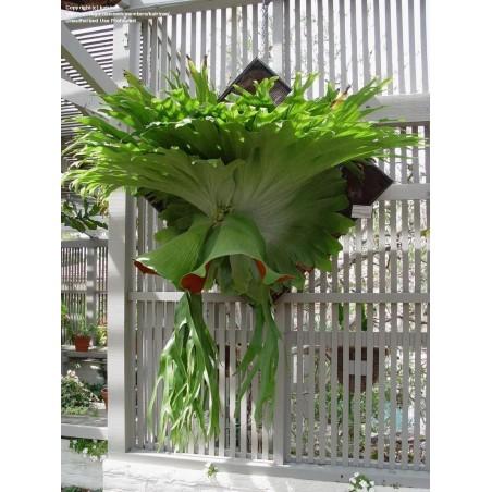 GIGANT Staghorn paprat Seme (Platycerium Superbum) 1.7 - 2
