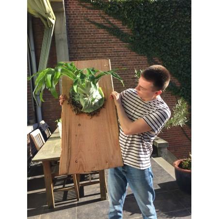 GIGANT Staghorn paprat Seme (Platycerium Superbum) 1.7 - 3