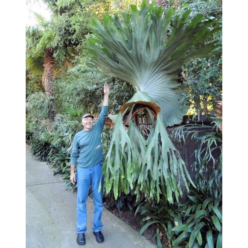 GIGANT Staghorn paprat Seme (Platycerium Superbum) 1.7 - 1