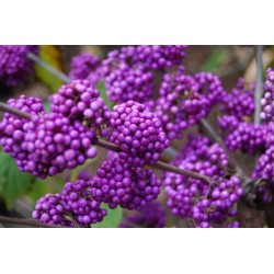 Japanese beautyberry Seeds (Callicarpa japonica) 1.85 - 5