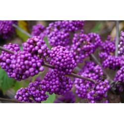 Japanischer Liebesperlenstrauch Samen (Callicarpa japonica) 1.85 - 5